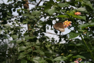 Indian Butterfly.