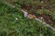 Indian/Spanish Butterfly.