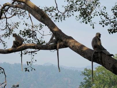 Monkey trees